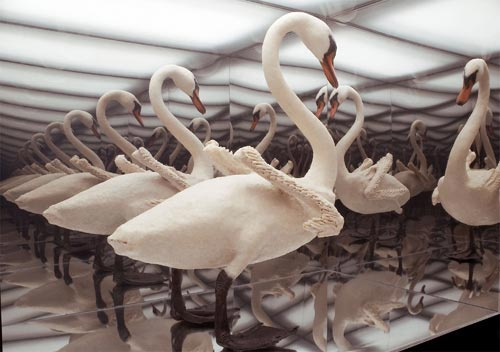 """Naked Swan, 2006 Taxidermy swan, silicon, oil paint, 2-way mirror plexi and mirrored plexi, 83"""" x 24 x 43""""."""